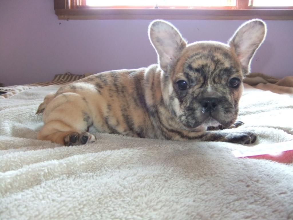 Brindle french bulldog rare